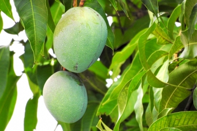 Mango Leaves, Seeds Helps In Reducing Blood Sugar and Diabetes - Here's How